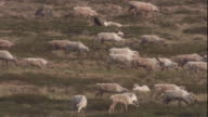 A caribou herd migrates across the tundra in Nunavut, Canada. Available in HD.