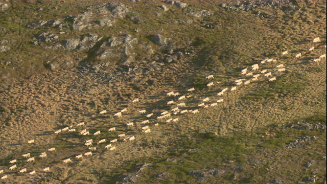 Caribou migrate across the tundra. Available in HD.
