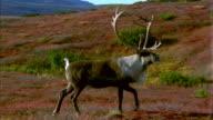A caribou walks on a grassy plain.