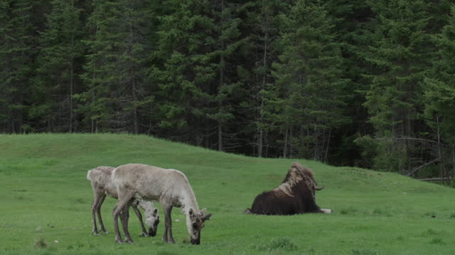 WS of caribous and musk ox