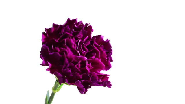 Carnations Blooming