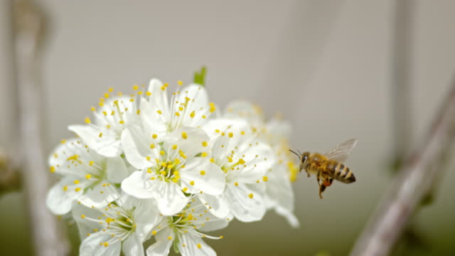 SLO MO Carniolan bee with visible pollen baskets on hind legs approaching a cherry blossom