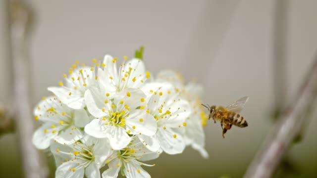 SLO MO Carniolan bee med synliga pollen korgar på bakbenen som närmar sig en körsbärsblom