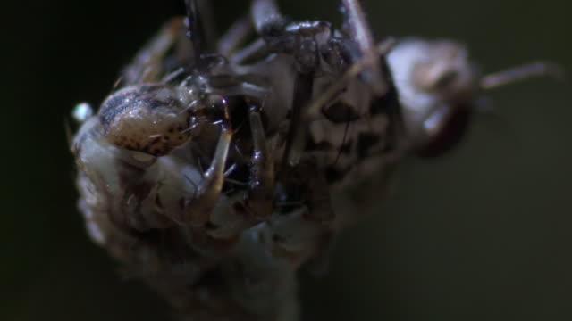 Carnivorous caterpillar (Hyposmocoma sp) feeds on fruit fly prey, Hawaii