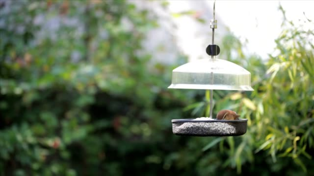Carolina Wren and Chipmunk at Bird Feeder