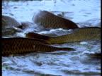 Carp feed in shallows, Volga Delta