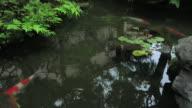 MS TU Carp in small pond of wooden old house for samurai,Buke yashiki / Kanazawa, Ishikawa, Japan