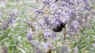 Carpenter bee and Russian sage flower