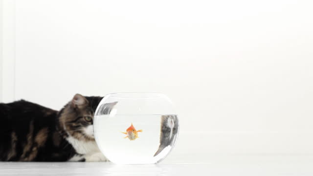 Cat Chasing Goldfish