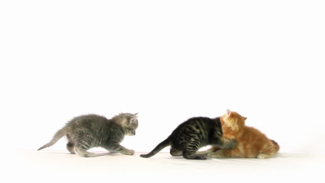 Katze Kampf