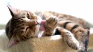 4K Cat Grooming - Stock video