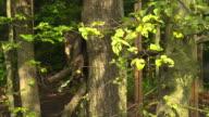 Cat hunting (National Park Thayatal - Austria)