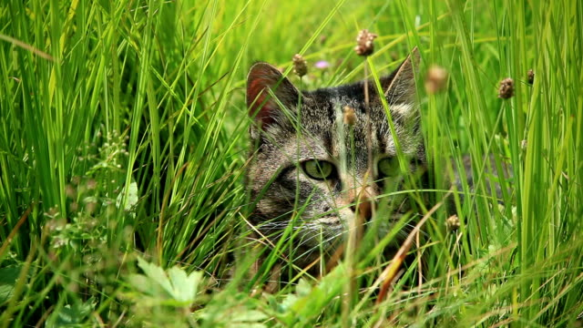 HD: Cat in Grass, Windy weather