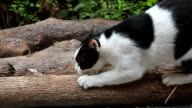 Cat sharpening a claw on a log