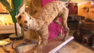 WGN Cat skeleton at Woolly Mammoth Antiques and Oddities on Sept 3 2014 in Chicago