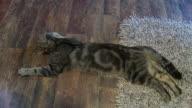 HD: Cat Sleeping On Floor