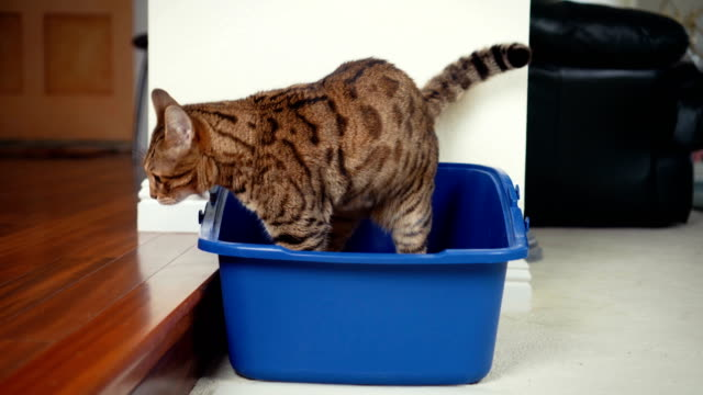 4K Cat using litter box - stock video