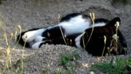 Cat wallowing and looking at camera