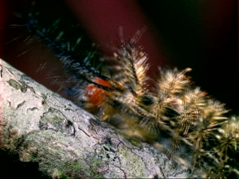 Caterpillar (Lepidoptera), black and orange spikey caterpillar walks right to left, close up.