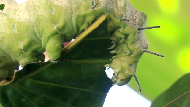 caterpillar eat green leaf on tree