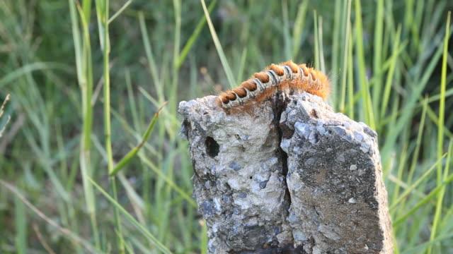 caterpillar feces
