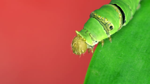 Caterpillar on green leaf with red background