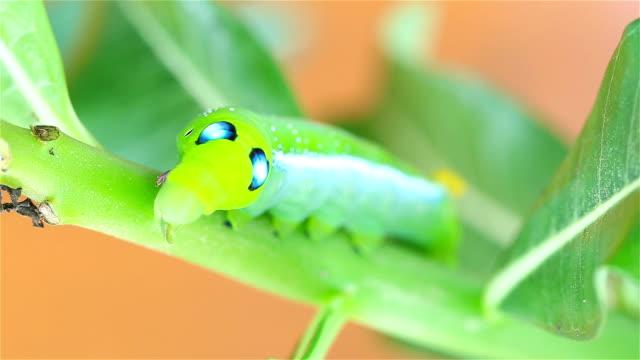 HD: Caterpillars eating leaves
