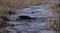 Catfish wriggle and squirm along a shallow stream. Available in HD.