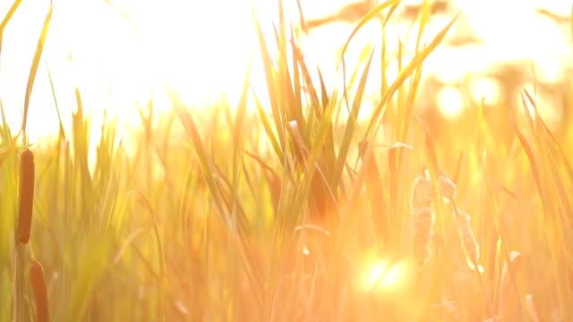 Winken an windigen Herbsttag Rohrkolben