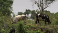 Cattle and goats graze in the Bangalore countryside.