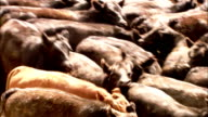 Cattle crowd each other in a feedlot. Available in HD.