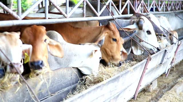 HD: Rinderfütterung