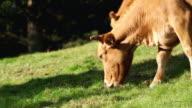 CU SLO MO Cattle grazed on meadow and eating grass / Yeongju, Gyeongsangbuk do, South Korea