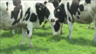 Cattle grazing: Medium shot