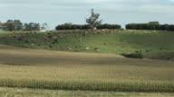 WS Cattle grazing on green hills / Stratford, Taranaki, New Zealand