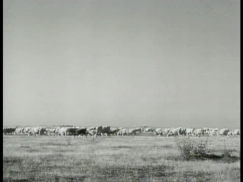 Cattle grazing on open range Hungarian Grey longhorn steers at watering well trough WWII World War II Occupied food supply