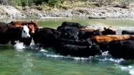 Cattle herd quickly crossing river