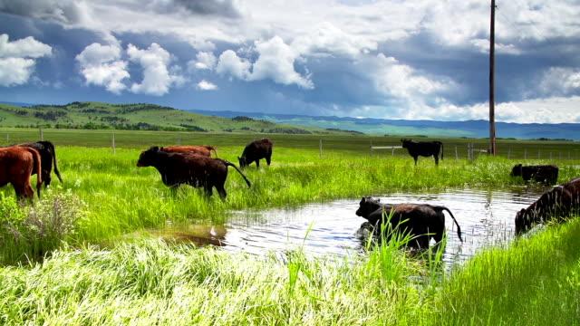 Rind Herde unter einem stürmischen Himmel treffen an einem Wasserloch