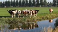Cattle In A Row In Meadow Near Amsterdam,Netherlands