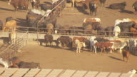 MS AERIAL cattle in pens at King Ranch / Kingsville, Texas, United States