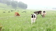 Cattle in the meadow eating grass