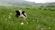 Cattle in the meadow resting