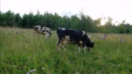 Cattle pasturing on the meadow