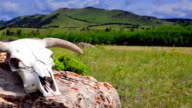Cattle skull in open pasture western concept