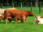 PAL: Cattle