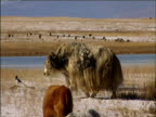 Cattle yaks and goats roam as they are herded Darhad Valley Mongolia