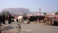 Cattles Walking in the Street, Mehrangarh Fort, Jodhpur, India
