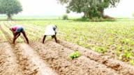 Cauliflower Crop Plantation
