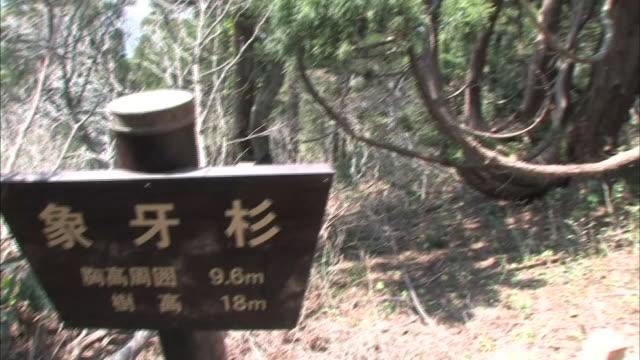 Cedar Forest In Sado Island