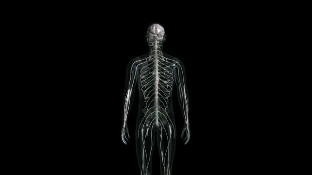 Central nervous system, brain and spinal cord